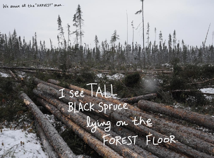 Black Spruce lying on forest floor, photo illustration by Franke James