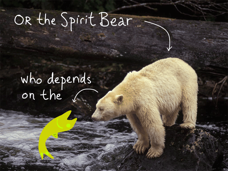 what is harper afraid of franke james  or the spirit bear who is dependent on the salmon type and fish illustration by